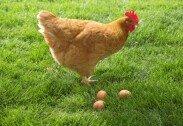 달걀 꺼내려다가…키우던 닭에 공격받은 노인 사망
