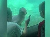 마치 친구의 스마트폰을 응시하듯 보는 바다사자 포착 '화제'