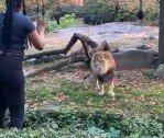 동물원 사자 우리 안으로 들어간 여성, 아찔한 상황!