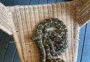 뒷마당에 있던 의자에 앉으려고 보니 커다란 비단뱀이…