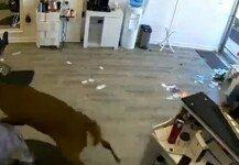 미용실 안으로 사슴 쳐들어와 난장판 소동 '깜짝이야'