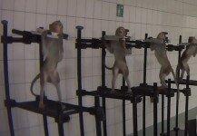금속 막대기에 묶인 원숭이들 포착, 동물실험 충격!