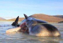 죽은 고래 뱃속에 쓰레기만 무려 100kg, '헐!'