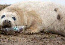 청정구역서 새끼 물범이 입에 물고 있는 쓰레기 병