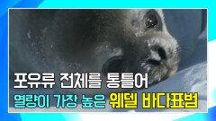 불과 열흘 만에 새끼의 체중이 두 배로 늘어나는 바다표범 [나홀로 육아, Animal Super Parents]