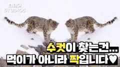 [빅캣_Big_Cats_1-2] - 눈표범에겐 특별한 능력이 있습니다 (feat.짝짓기)
