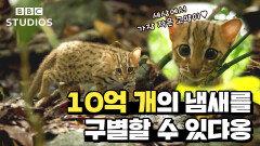 [빅캣_Big_Cats_1-1] - 세상에서 가장 작은 고양이는?