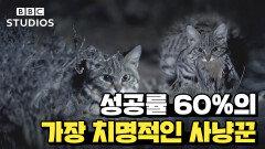 [빅캣_Big_Cats_2-1] - 검은발살쾡이의 사냥