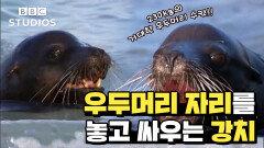 [갈라파고스_GALAPAGOS_1-1] - 30마리의 암컷과 새끼를 거느린 갈라파고스강치 우두머리