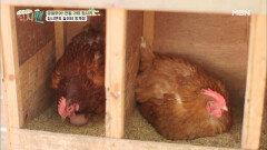 """""""저는 닭에 미쳤어요(?)"""" 집시맨의 발걸음을 멈추게 한 양계장!"""
