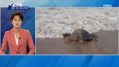 [픽뉴스] 쇠망치 단 강아지·고향 가는 바다거북·우유 상자 챌린지·미국을 홀리다·정경심 면직
