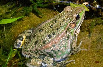 濒危二级金蛙成功大量繁殖