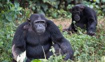 チンパンジー社会の政治学、米大統領選にも通用