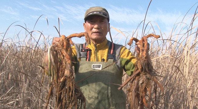 늪에서 찾은 보양식 갈대뿌리 차세대 건강식품 새싹땅콩