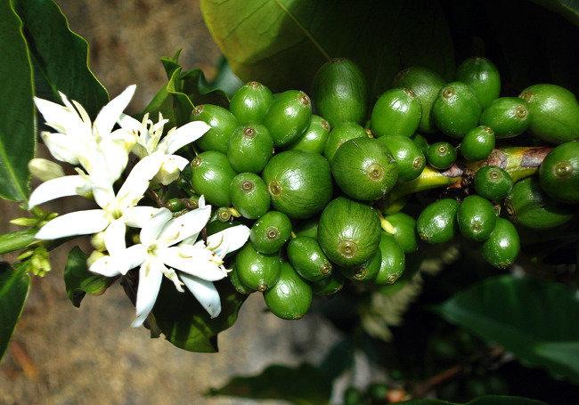 태초에 커피나무가 있었다!