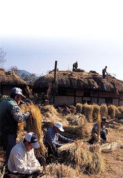 초가 마을의 지붕 잇기 품앗이