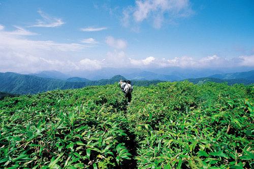 너도밤나무 숲속 노천온천 휘감은 야생화 향기|일본 아키타