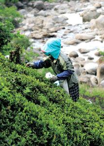 우리 茶의 발원지를 찾아서 하동 화개 야생차