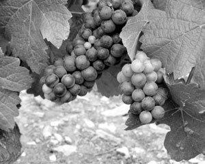 와인의 비밀, 포도 게놈 프로젝트로 푼다