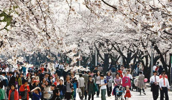 여의도는 벚꽃천지