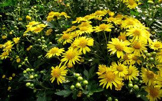 신선이 되는 약의 으뜸 국화(菊花)