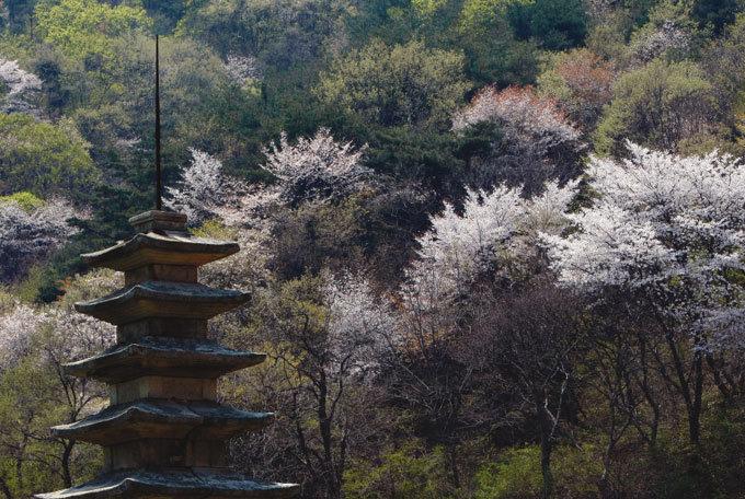 마을은 고요하고 야산엔 흰꽃이 가득
