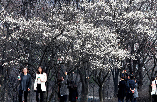 매화나무에 핀 하얀 봄