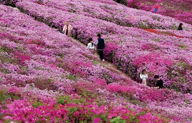 연분홍 꽃물결