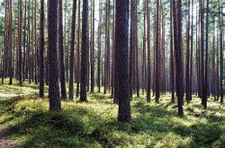 울창한 소나무 양팔 환영 라트비아 E67번 국도