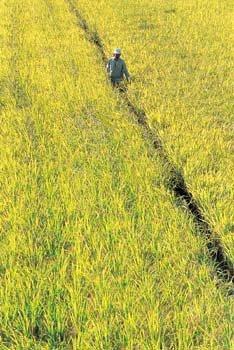가을 農心은 황금빛으로 물든다