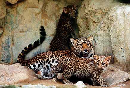철통보안! 한국 표범 출산작전 대성공