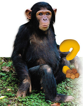 뭐? 침팬지가 망치로 '호두'를 깨먹어?