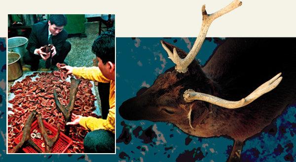 중국산 불량 한약재, 가짜 원용(녹용) 범람 보약도 마음 놓고 못 먹나