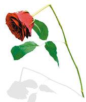 내 아내가 붉은 꽃을 잃었다