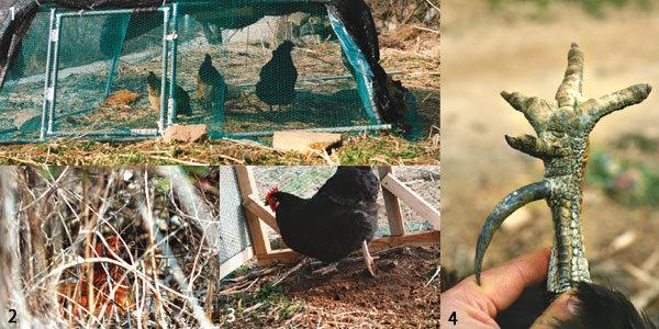 황소만큼 밭 잘 가는 닭, '치킨 트랙터'의 워낭소리