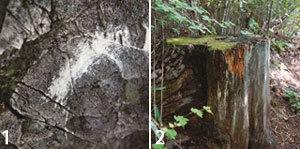 인간의  때 묻지  않은 그곳 금강  소나무  7형제  산다네