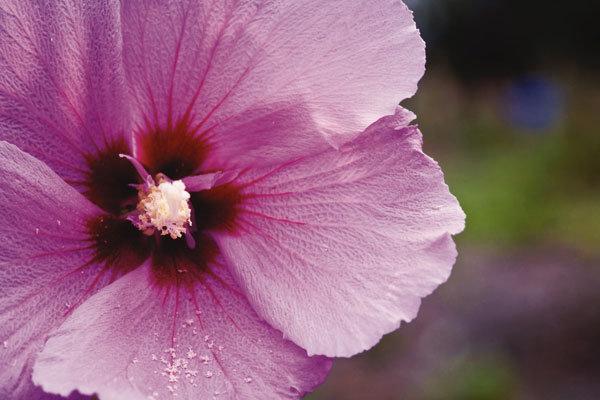 여름 내내 무궁화꽃 피었습니다