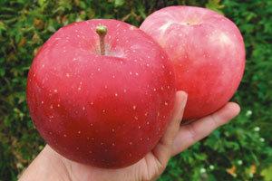 때깔만 번지르르한 사과는 싱거워!
