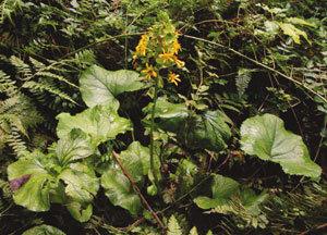 산나물의 제왕 노란 꽃도 황홀