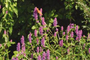 보라색 꽃송이… 방아잎, 맞습니다