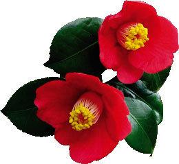 따뜻한 섬마을엔 벌써 꽃망울?