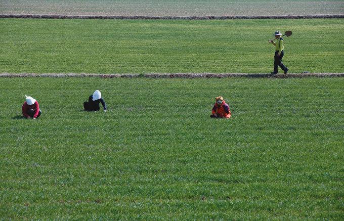 남도 보리밭의 봄