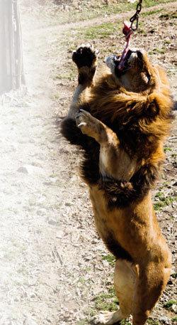 사냥 본능 키운 사자 외줄타기 곡예사 침팬지