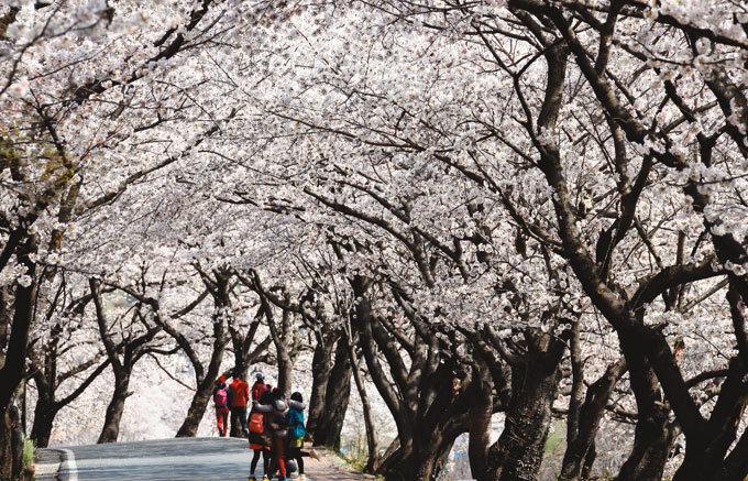 환상의 벚꽃 터널
