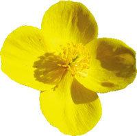 노랑 꽃 + 초록 잎 = 황금빛 봄 물결