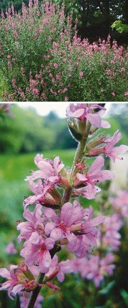 물가의 꽃방망이 '붉은 유혹'