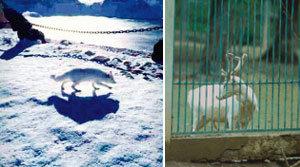 토종 '백여우' 백두산 천지에 산다