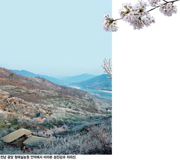 눈송이처럼 흩날리는 섬진강 봄꽃