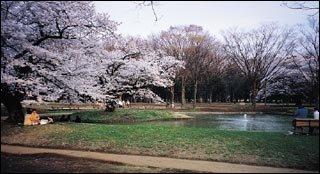 도쿄 우에노 공원의 벚꽃 놀이 풍경