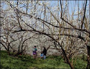 봄꽃여행 9